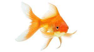 Alimentation pour poisson