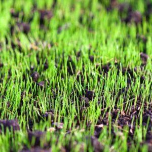 Gazons semences graines