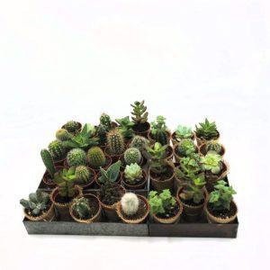 Mini cactus alocasia Toulouse Boutiques
