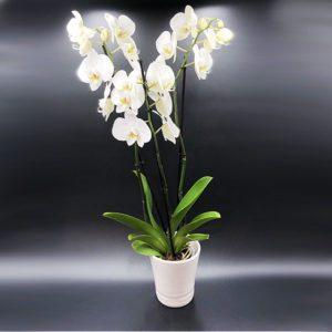 Orchidées Toulouse Boutiques Alocasia