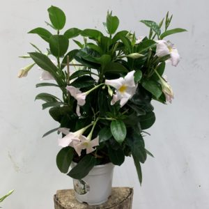Dipladenia blanc espallier TOULOUSE