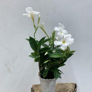 Dipladenia blanc pot 10 cm TOULOUSE