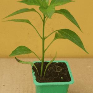 Piment de cayenne TOULOUSE
