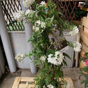 Solanum Jasminoide TOULOUSE