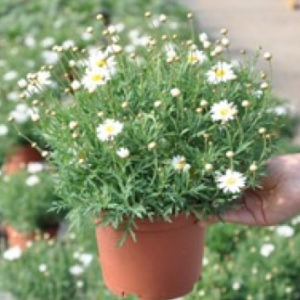 anthemis TOULOUSE