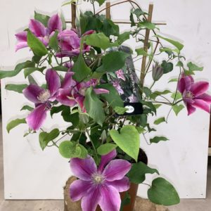 Clematite TOULOUSE