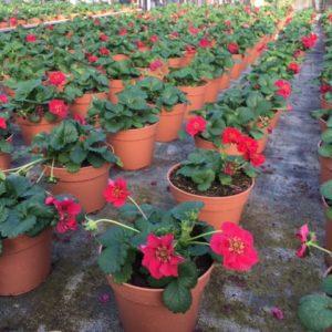 fraisier frago TOULOUSE