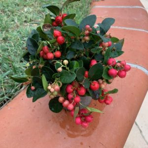 Gaultheria Jardinerie Toulouse