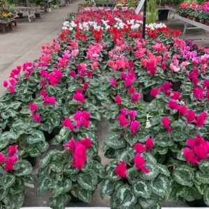 cyclamen jardinerie Toulouse
