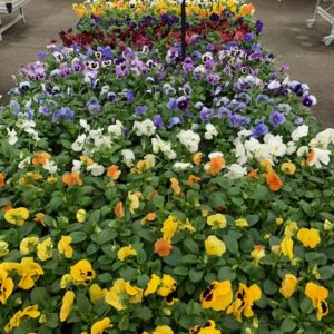 Pensée jardinerie Toulouse