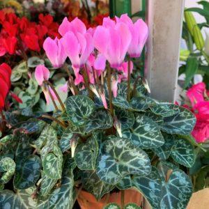 mini cyclamen rose pot 10cm